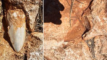 The fossilised tooth in the Cape Range National Park before (left) and after (right).  Picture: Department of Biodiversity, Conservation and Attractions