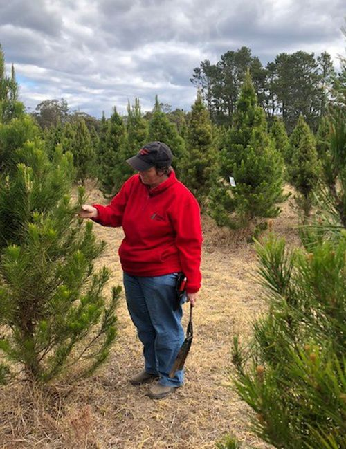 Lynette Rideout said while Christmas trees will be ready for this year they are drought-stricken.