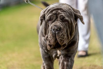 Best breeders' group in show: neapolitan mastiffs
