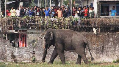 The elephant sustained several injuries, believed to be from smashing into buildings and cars. (AP)