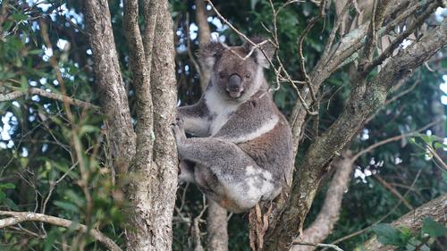 A koala is seen resting in a tree in Swan Bay, NSW.