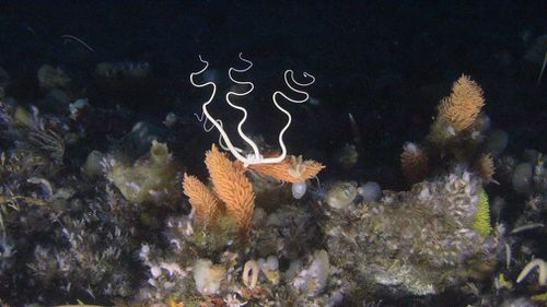The pictures from the environmental campaign group shows a marine environment rich in sponges, coral and fish. (Greenpeace)
