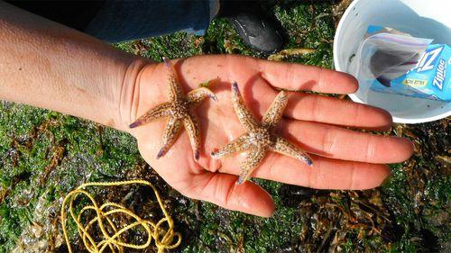 Japanese sea stars that washed ashore in Oregon. (John Chapman)