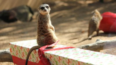 This meerkat carefully contemplated its gift.
