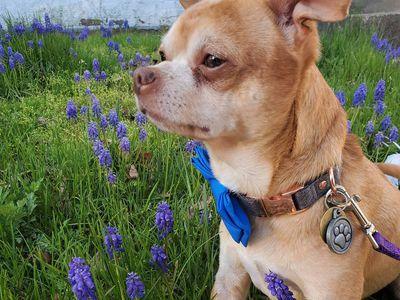 Prancer the 'demonic' Chihuahua