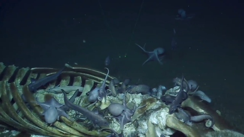"As the camera zooms in on the ""fallen whale"", excitement can be heard in the scientist's voices as they spot more than a dozen octopuses clinging to the whale's spine and ribs. One octopus even hitches a ride on the Nautilus camera."