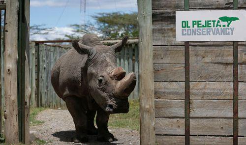 Sudan, the world's last male northern white rhino, has died in Kenya. (AP).