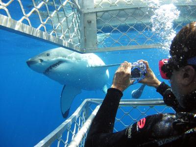 Great whites sharks...