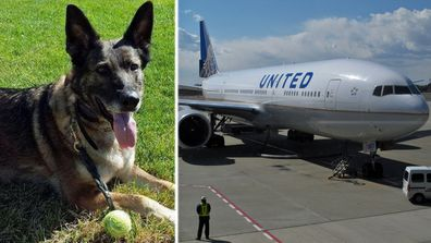 Irgo, the Swindle family's German shepherd, was mistakenly few to Japan by United Airlines. (Supplied/AP).
