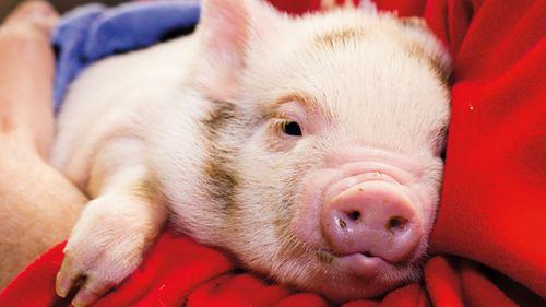 Billionaire sends pet pig away for being too fat