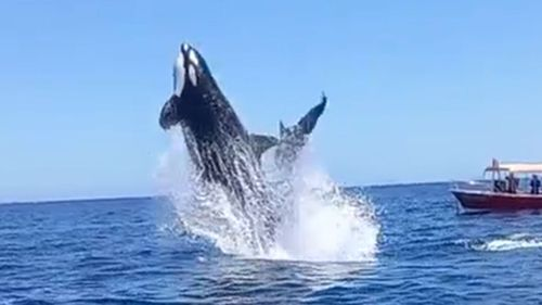 The orca ramming the dolphin in mid-air.