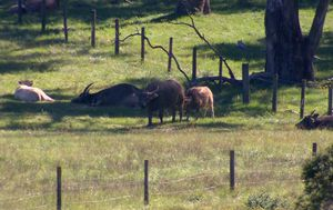 Woman 'charged by buffalo' in Sydney's southwest
