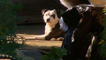 Caesar the pit bull saved his owner during an alleged attack in the early hours of Sunday morning.