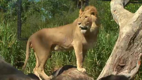 Pet cat owners have been told to follow the lead of zoo staff keeping care of lions and other big cats. (9NEWS)