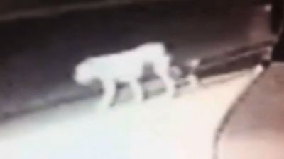 "And you thought your neighbourhood was dangerous. In August, Los Angeles residents had to deal with their streets being prowled by a pack of coyotes and what appeared to be a lion. It makes the Blue Mountains panther look tame.<br _tmplitem=""9""><br _tmplitem=""9""><a _tmplitem=""9"" href=""http://www.9news.com.au/world/2014/08/02/11/27/lion-coyotes-stalking-los-angeles-suburban-streets"">READ THE FULL STORY</a>"