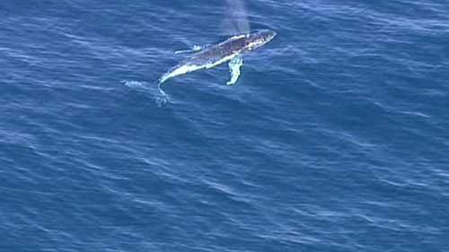 The 9NEWS chopper filmed this whale near where the stranded whale was spotted. (9NEWS)