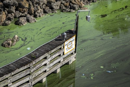 The blue-green algae is separate to the 'red tide' and is directly related to agricultural and urban runoff. Picture: AP