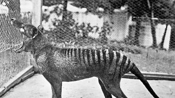 Tassie Tiger Mystery