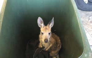Kangaroo rescued after swimming out to sea at Brighton Beach
