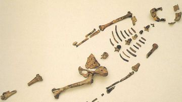 The remains of Lucy, the Australopithecus afarensi. (AP/Houston Museum of Natural Science)