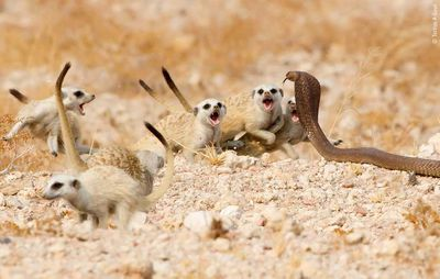 The Meerkat Mob by Tertius A Gous