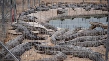 The crocodiles at the Crocoloco Crocodile Farm in Israel.