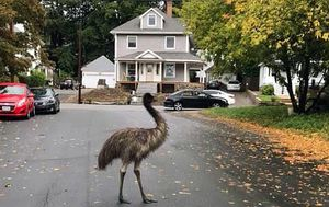 Authorities use pear to entice and capture escaped emu in Massachusetts