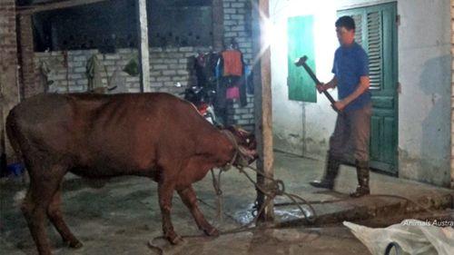Vietnam cattle cruelty probe curbs exports