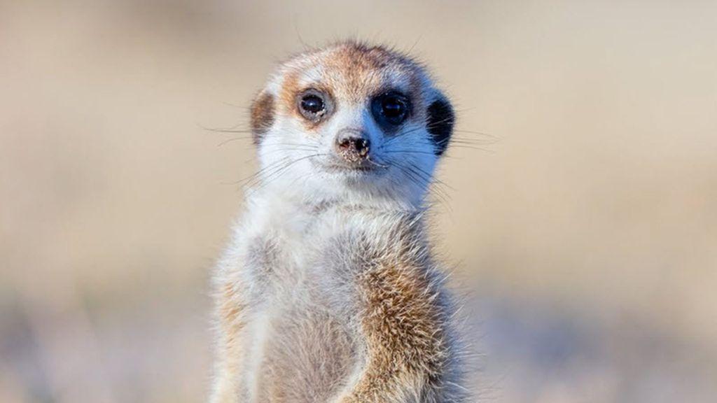 meerkat Tyler Fairbank