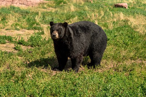 Wildlife officials are trying to track the bear which attacked Mrs LeBarron, believing it could be a sow with cubs.