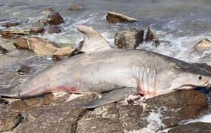 Investigation launched after dead great white shark found at popular snorkelling spot