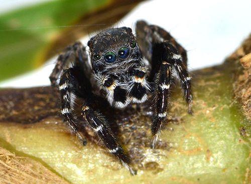 Five new species of spider found in Australia