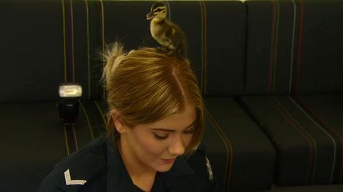 The ducklings spent some time with police while waiting to be taken home. (9NEWS)