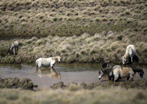 Culling of the feral horses is controversial but they cause extensive environmental damage to the Snowy Mountains region.