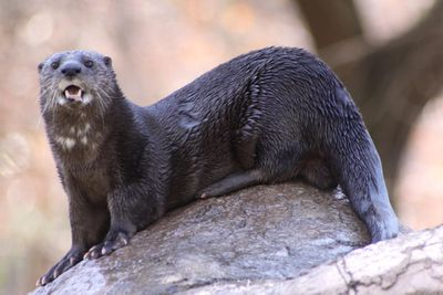 <p>Spot-necked otter (Lutra maculicollis)</p>