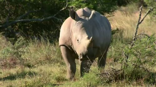 Rhinos are increasingly being poached for their horns. (9NEWS)