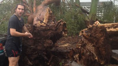 The storm felled this tree in Annerley. (Gram Whitton)
