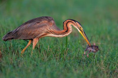 'The face of death'. Category: Bird Behaviour. Silver Award Winner.