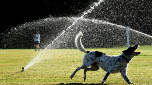 A dog cools off in Sydney.