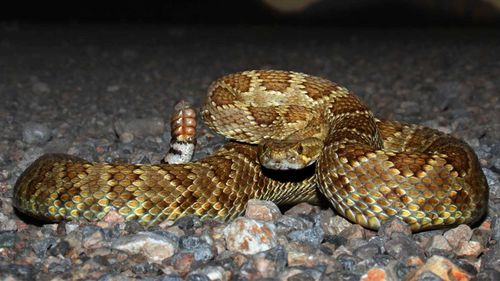The Mojave rattlesnake is one of the most venomous snakes in North America.