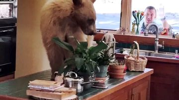 Family discovers bear eating food in their kitchen