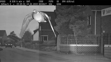 The pigeon ruffling a few feathers by flying too fast in a 30km/h zone.
