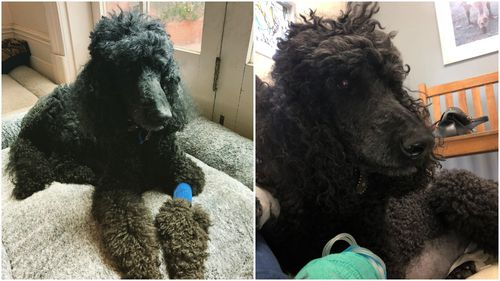 My second Standard Poodle, Zorro, nearly died from bloat just last week.