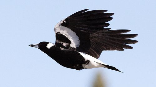A magpie that attacked two young boys in a popular Perth park, causing serious damage to one child's eye, has been destroyed (AAP Image/Victoria Department of Environment, Land, Water and Planning).