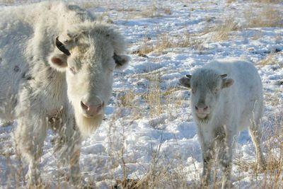 <p>Albino bison</p>