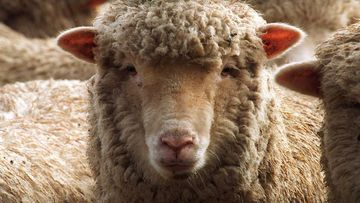 China is not accepting lamb from two major Australian abattoirs.