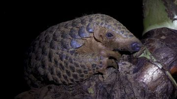 Pangolins are the only mammals on Earth with scales.