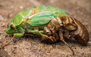 Cicada 'blitz' expected this summer