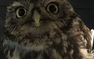 """Extremely obese"" owl too fat to fly after gorging on mice"