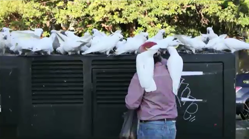 Locals say a Mosman man's habit of feeding the birds has gotten out of hand.